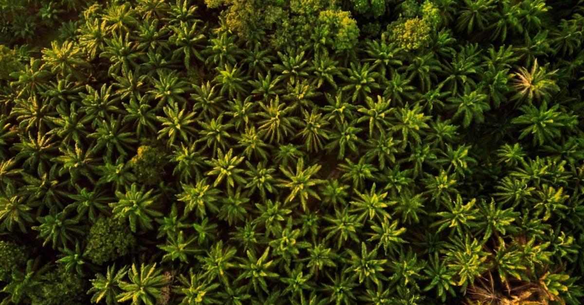 Palm oil tropical deforestation faces climate transition risks